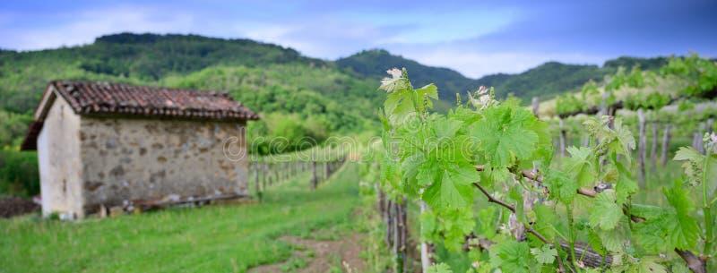 与开花ine早期的春天的藤分支在葡萄园横幅大小 免版税图库摄影
