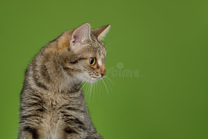 与异常的宽鼻子的猫在绿色背景 免版税库存图片