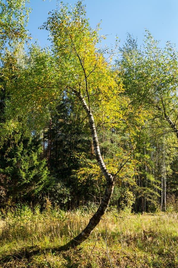 与异常的弯曲的树干的桦树在莫斯科附近的混杂的森林里 免版税图库摄影