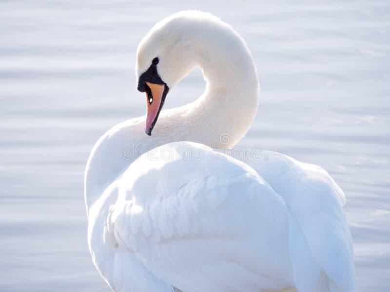 与弯的脖子的疣鼻天鹅 免版税图库摄影