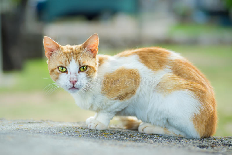 与强烈的眼睛的饥饿的猫 图库摄影