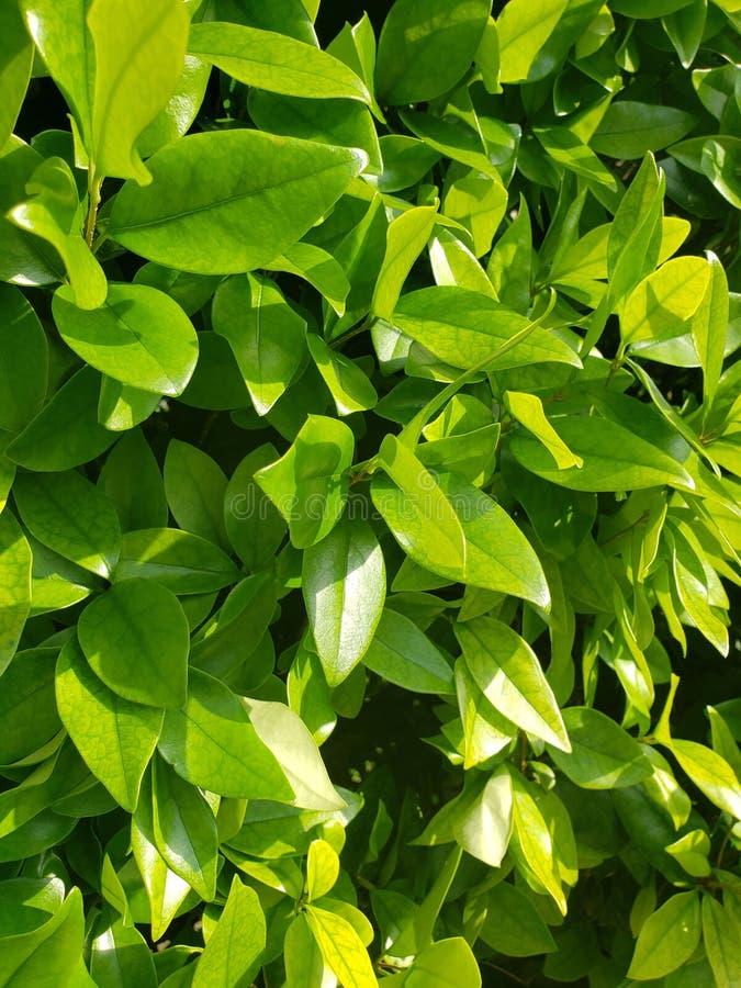 与强的旁边照明设备的绿色新的叶子成长 图库摄影