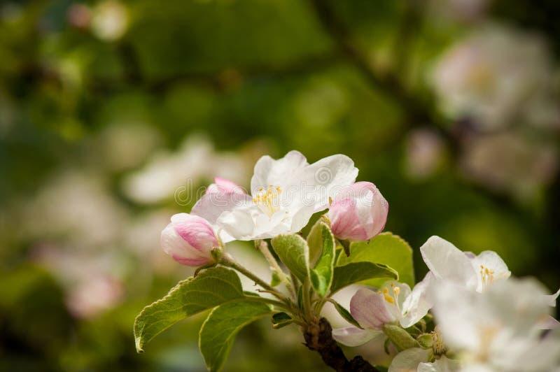 与强的bokeh的春天开花的白色春天花 库存照片