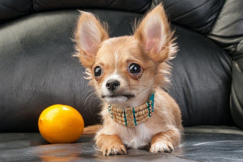 与当地印第安项链和柠檬的奇瓦瓦狗小狗 免版税库存照片