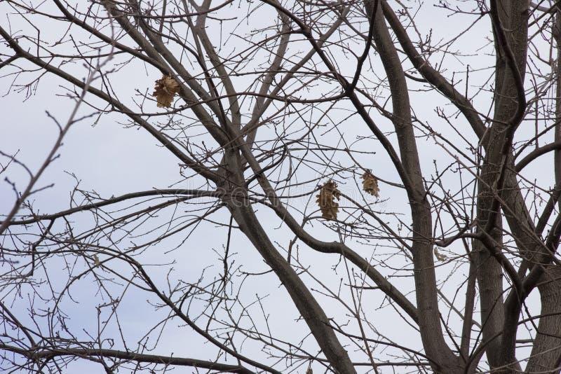 与很小数量的干燥叶子的橡木分支反对天空在秋天 免版税库存图片