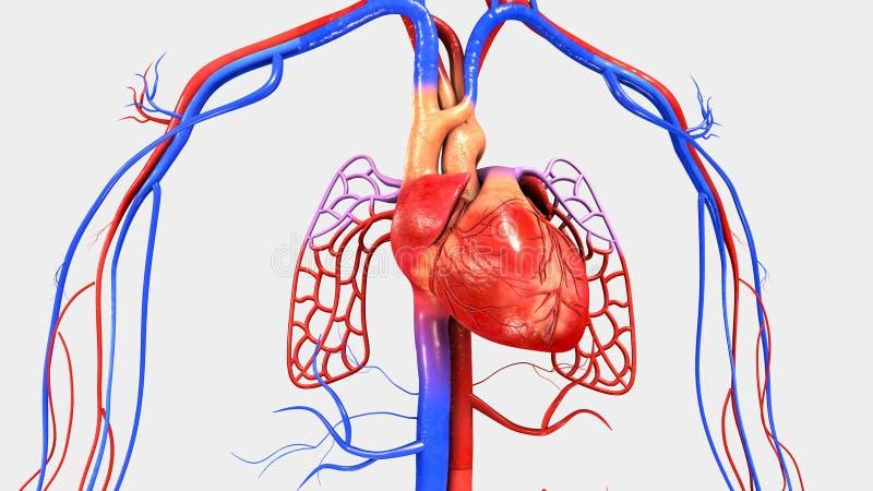 循环泵浦 它在deoxygenated血液采取通过静脉并且提供它到氧化的肺在图片