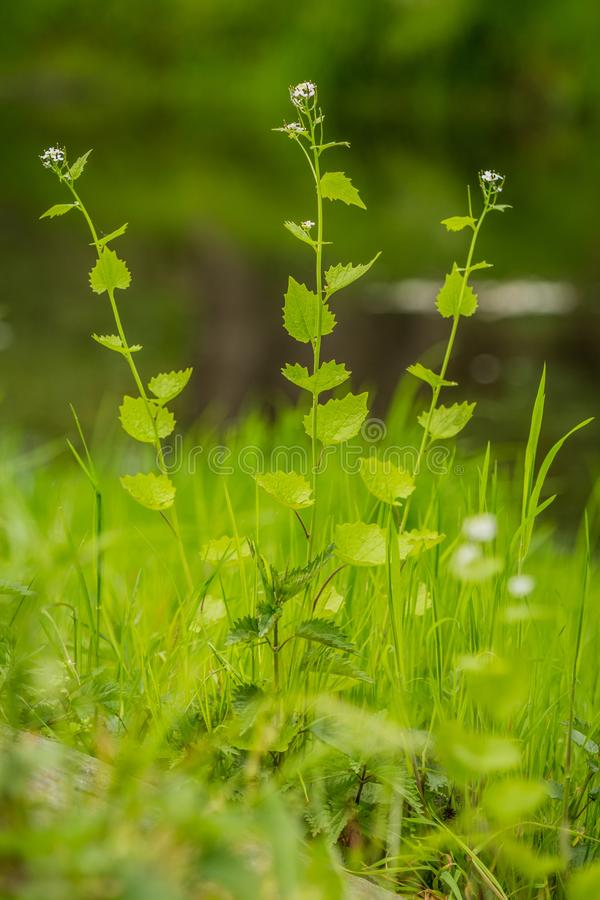 与微小的白花的绿色草本 免版税图库摄影