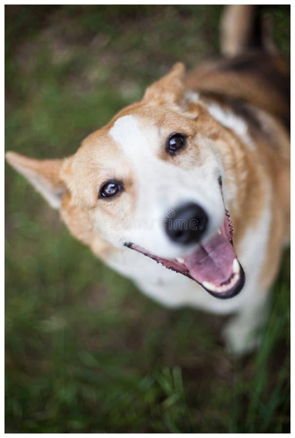 与微笑的愉快的狗 图库摄影
