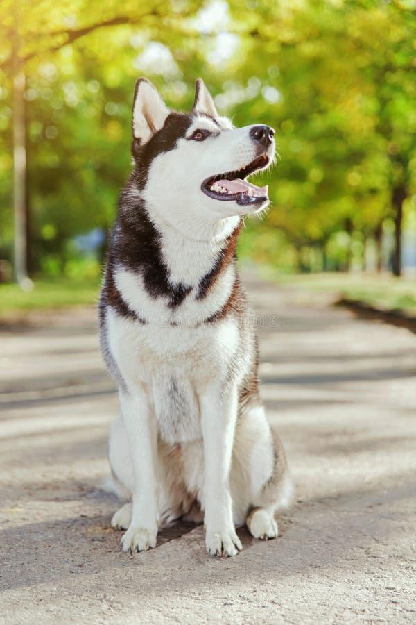 与微笑的画象多壳的狗 免版税库存图片