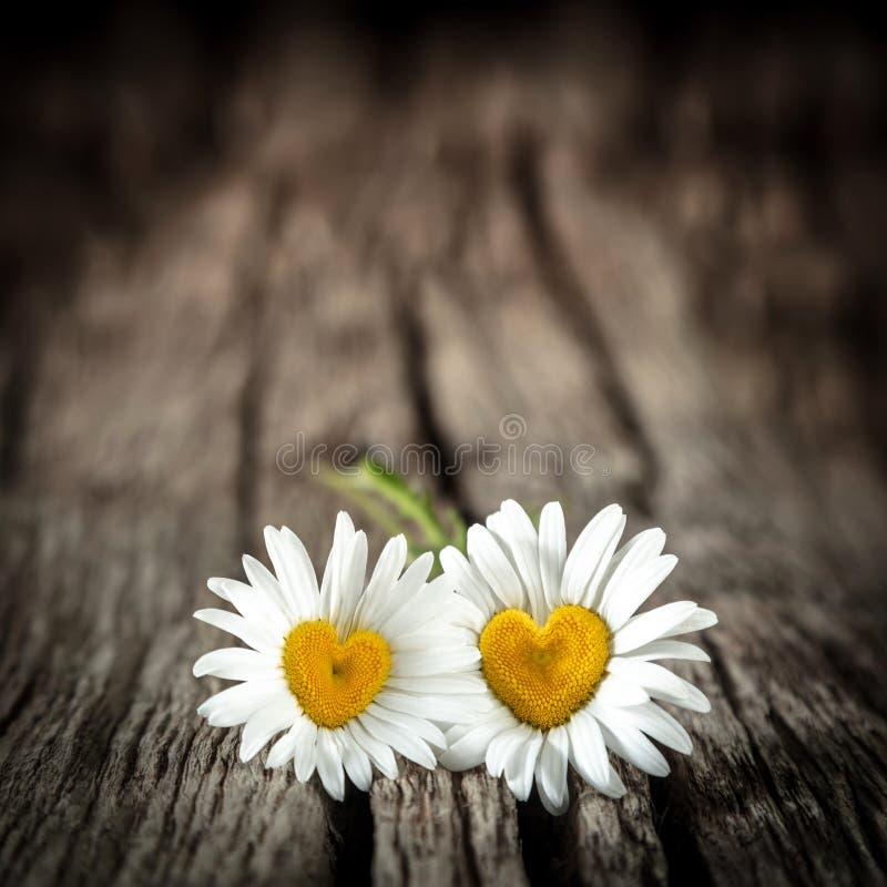与心形的中心的两朵雏菊 图库摄影