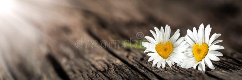 与心形的中心的两朵雏菊 库存照片