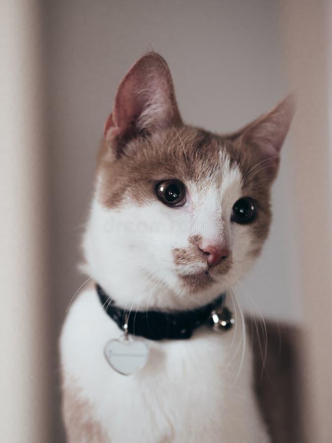 与心脏的哀伤的看起来的幼小猫在衣领 免版税库存图片