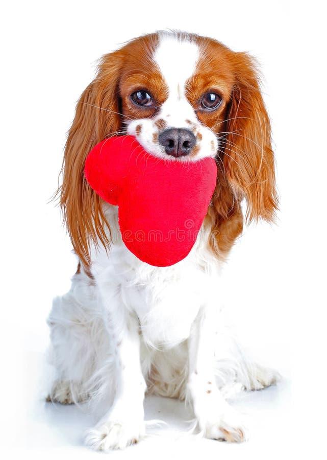 与心脏骑士国王查尔斯狗狗照片的狗 在被隔绝的白色演播室的美丽的逗人喜爱的骑士小狗 免版税图库摄影