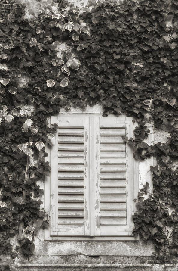 与快门和常春藤覆盖的墙壁,抽象背景的老窗口 库存照片