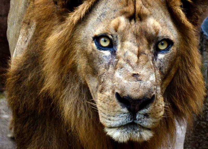与恼怒的面孔关闭的狮子 库存图片