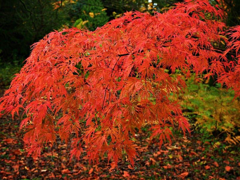 与惊人的秋叶的槭树分支 免版税库存照片