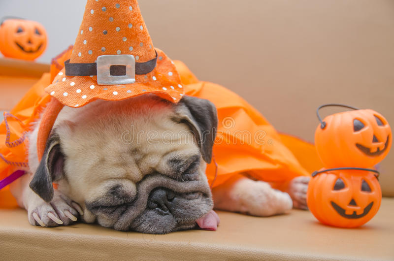 与愉快的万圣夜天睡眠基于服装的逗人喜爱的哈巴狗狗s的 库存照片