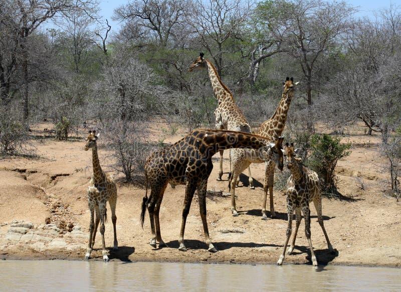与成人长颈鹿的渴小长颈鹿临近在大草原的水 免版税库存照片