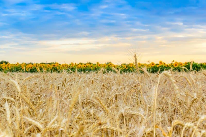 与成熟仁的麦田在日落 夏天农村风景 富有的收获的概念 免版税库存图片