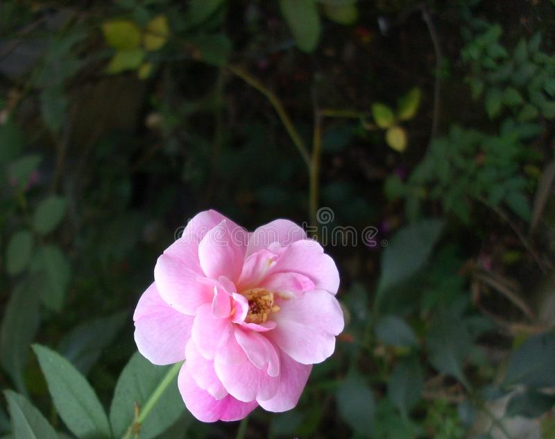 与成熟瓣的美丽的桃红色玫瑰 免版税库存照片