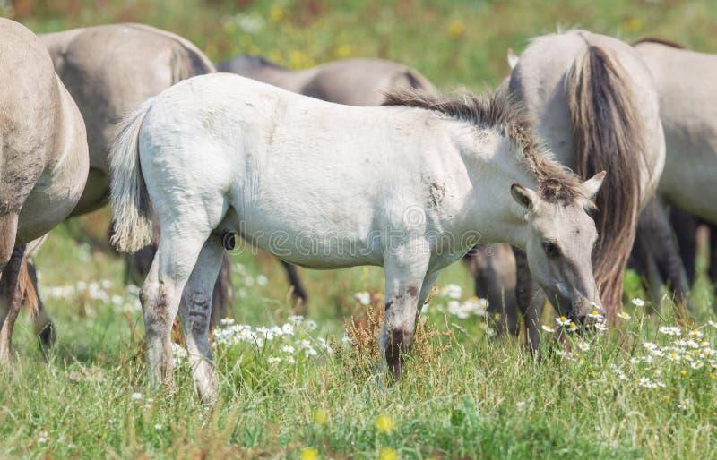 与成熟野马的Konik驹在背景中 库存照片