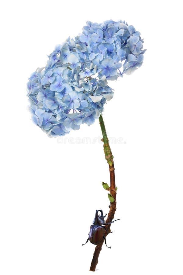 与战斗的甲虫臭虫的八仙花属五颜六色的花在白色 库存图片