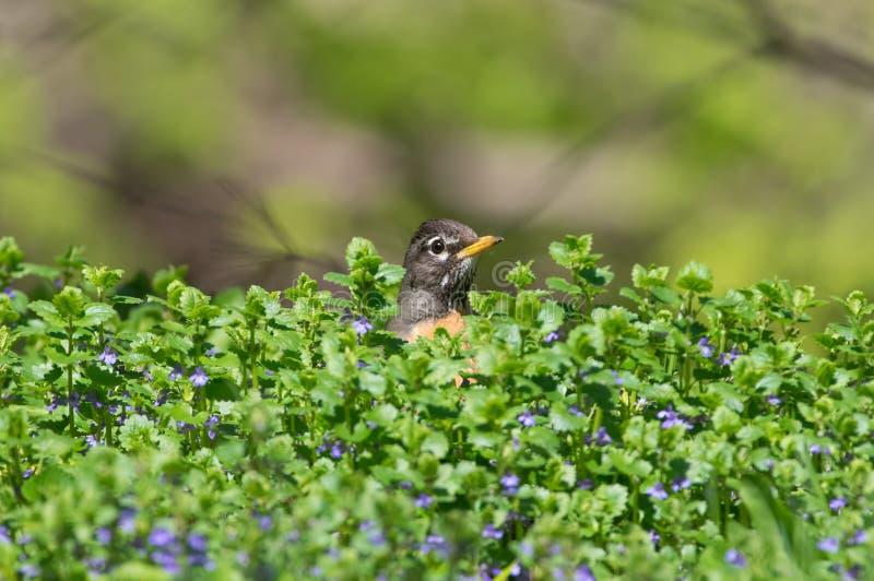 与戳头的鸟的逗人喜爱的美国知更鸟画象在绿色灌木/与在明尼哈哈附近-被采取的一些紫色花的灌木外面 库存图片