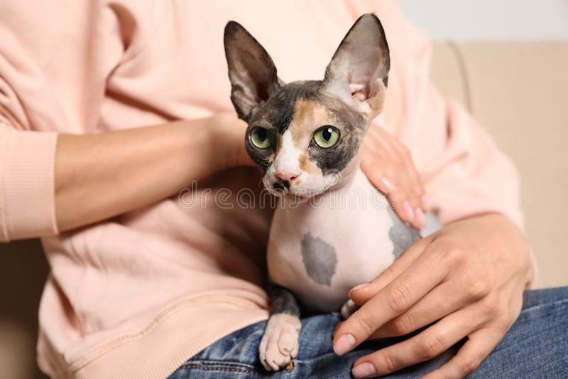 与户内所有者的逗人喜爱的sphynx猫 友好的宠物 库存照片