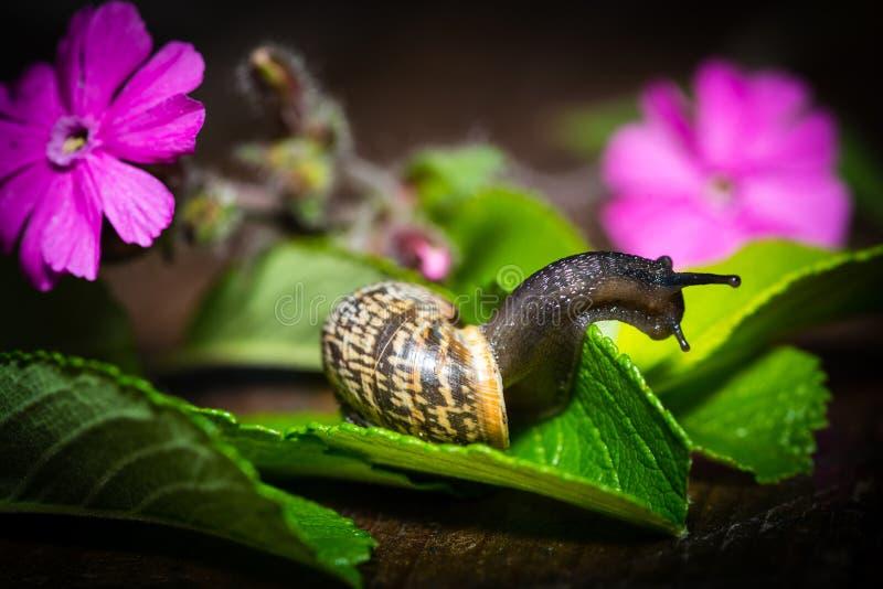 与房子的一只蜗牛在一片绿色叶子爬行 免版税库存图片