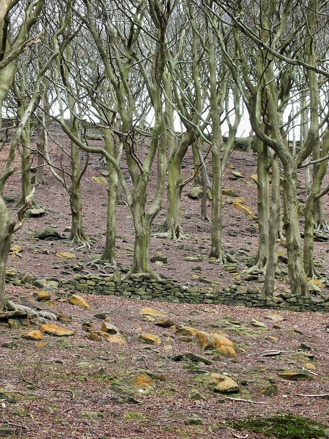 与扭转的分支的纯然的森林地冬天树在与bareground的一个山坡与一个被破坏的石墙和疏散岩石 库存照片