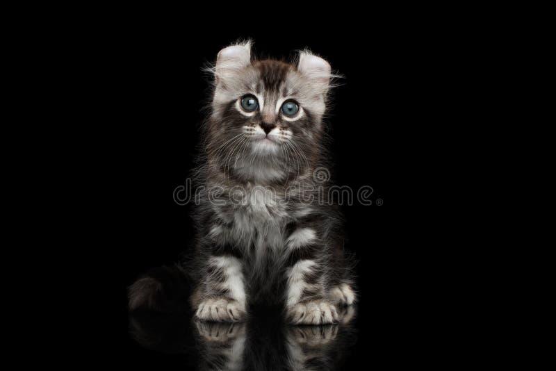 与扭转的耳朵的逗人喜爱的美国卷毛小猫隔绝了黑背景 库存照片