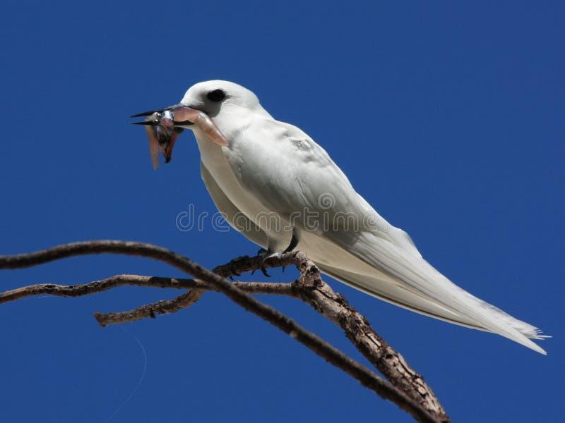 与抓住的鸟 白色燕鸥,天使燕鸥,白色燕鸥类鸟,晨曲的Gygis 免版税图库摄影