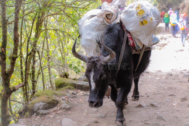 与担子的黑组装水牛在尼泊尔 库存图片