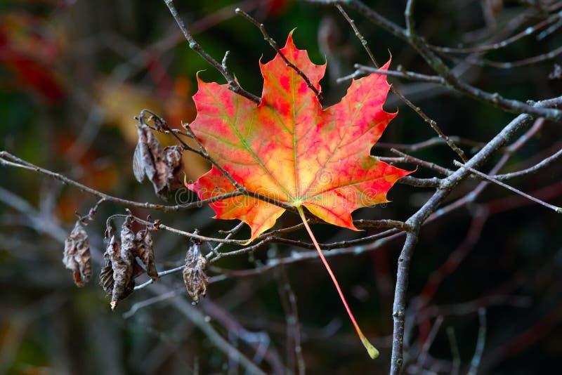 与拷贝空间的秋天枫叶老木背景 库存图片