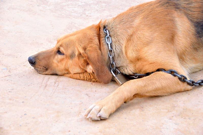 与挂锁的被束缚的狗 图库摄影