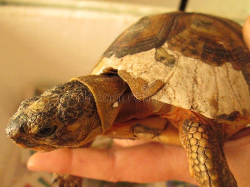与损坏的壳的有角草龟 库存照片