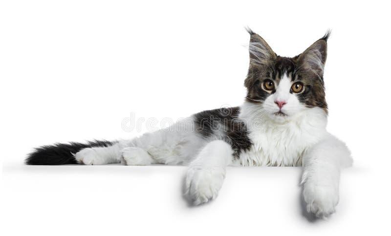 与提出与爪子的白色缅因厨师猫小猫的甜英俊的黑平纹旁边方式垂悬在边缘,看直接 库存照片