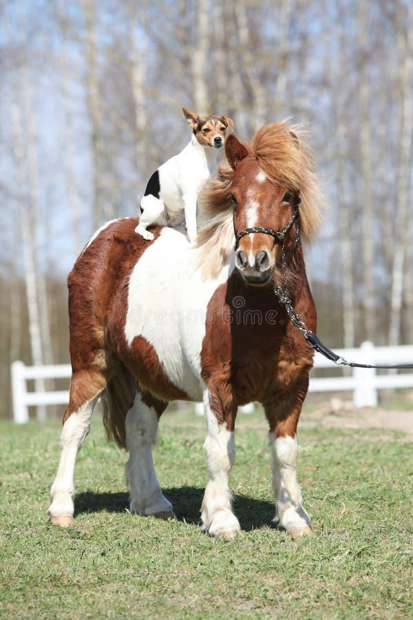 与教区牧师罗素狗的好的舍特兰群岛小马 免版税库存图片