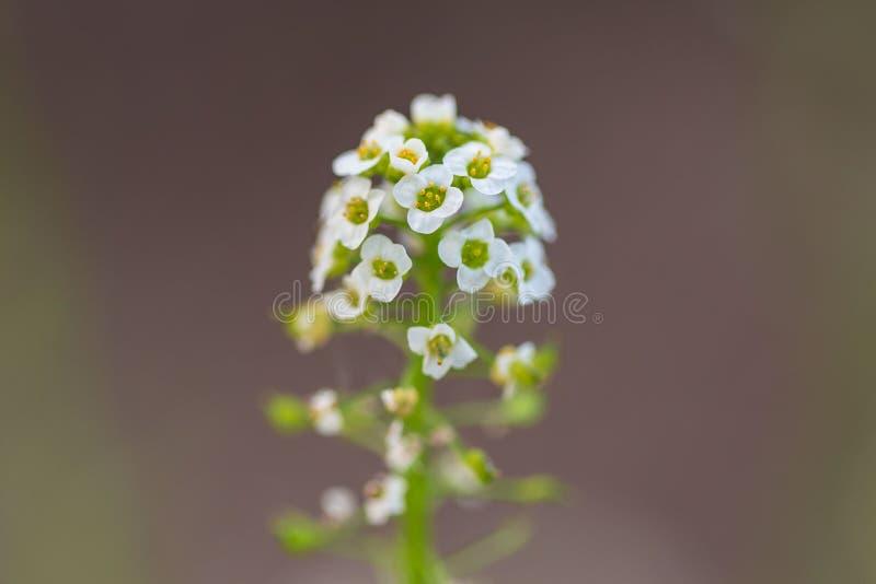 与数十小白色绽放的野花在一个长的词根 免版税图库摄影