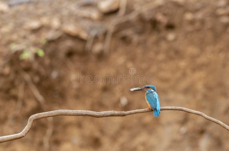 与整洁的杀害的共同的翠鸟它的巢在Ranthambhore国立公园 免版税图库摄影