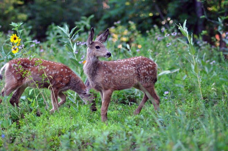 与斑点的小鹿 免版税库存照片