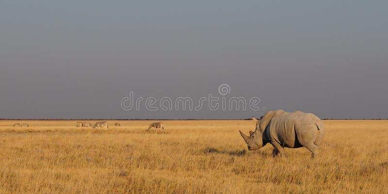 与斑马牧群, etosha nationalpark,纳米比亚的白色犀牛 免版税图库摄影