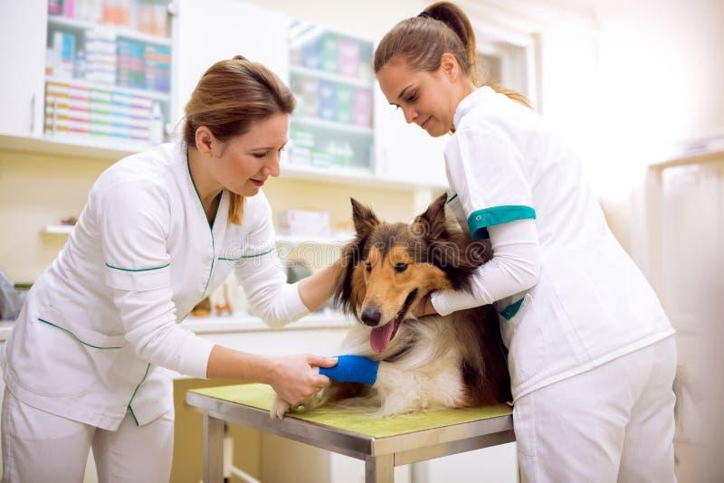 与断腿的受伤的狗在宠物救护车 免版税库存图片