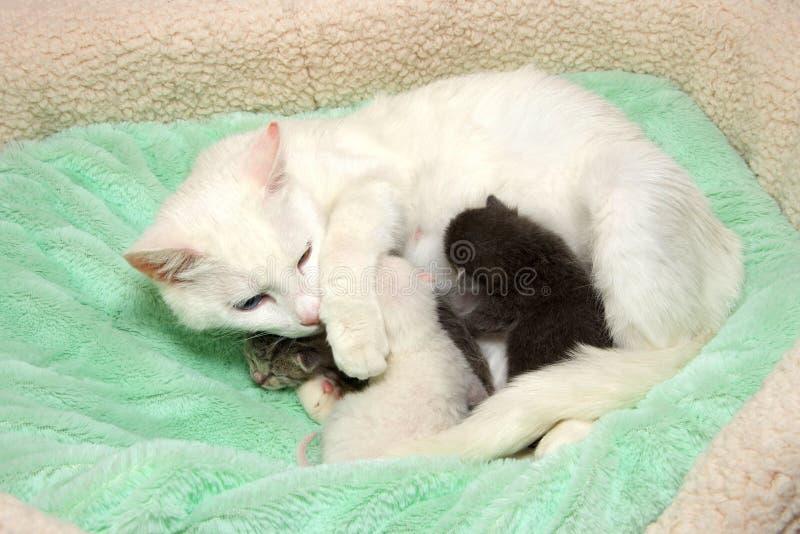 与新出生的小猫的白色母猫四天年纪护理 库存图片