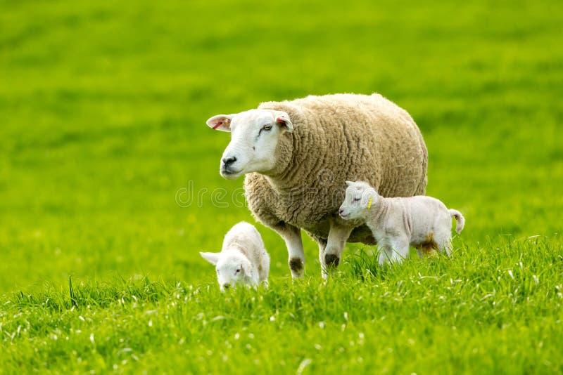与新出生的羊羔的特塞尔母羊在豪华的绿色草甸 免版税库存照片