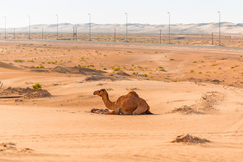 与新出生的婴孩的骆驼在沙漠 库存照片