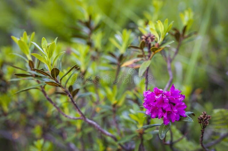 与新鲜的红色紫色花alpenrose杜鹃花ferrugineum 库存照片