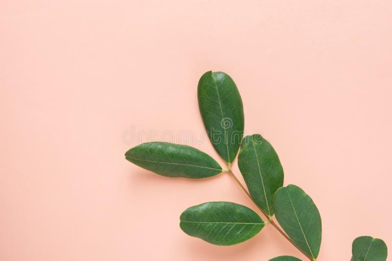 与新鲜的绿色叶子的树枝在桃红色背景 Ayurveda皮肤身体关心有机化妆用品概念 博克的被称呼的图象 免版税库存照片