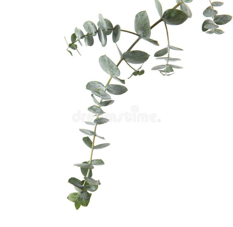 与新鲜的绿色叶子的玉树分支 图库摄影