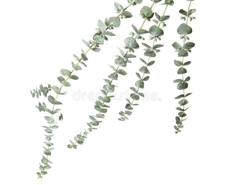 与新鲜的绿色叶子的玉树分支 库存照片